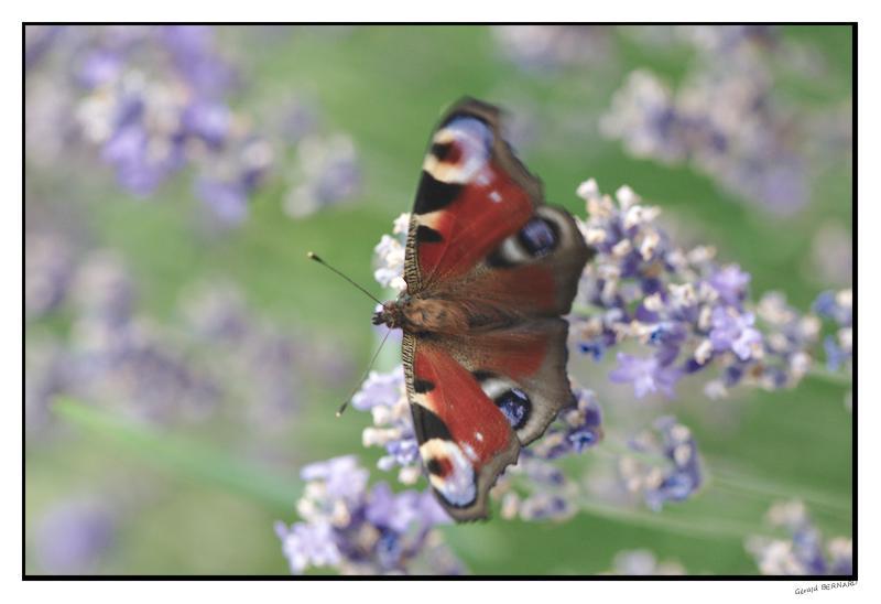 Papillon__DSC97330001