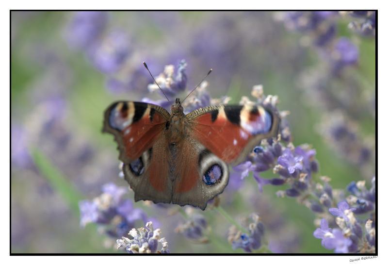 Papillon__DSC97340001