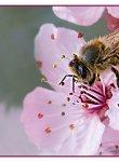 abeille-prunus_dsc3308_1_web