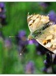 papillon_dsc1248_web