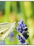 papillon_dsc1251_web