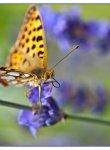 papillon_dsc1570_web